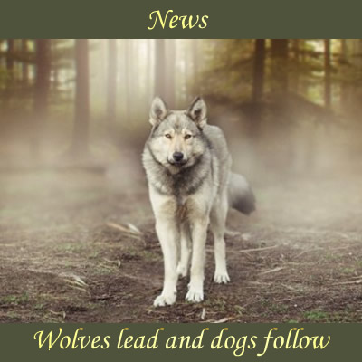 Wolves Lead and Dogs Follow